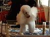 Campionat d'Espanya de perruqueria canina